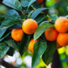 Alternatives for Fighting Citrus Greening Disease